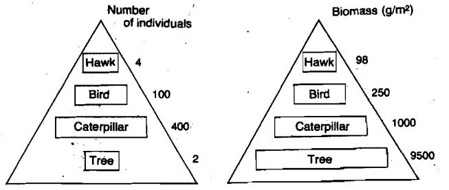 food chain pyramids