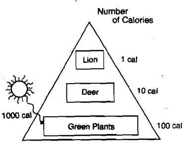 food chain pyramid energy