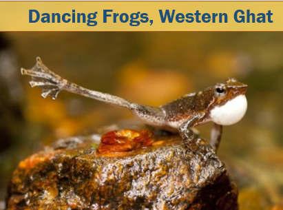 Dancing frogs western ghats