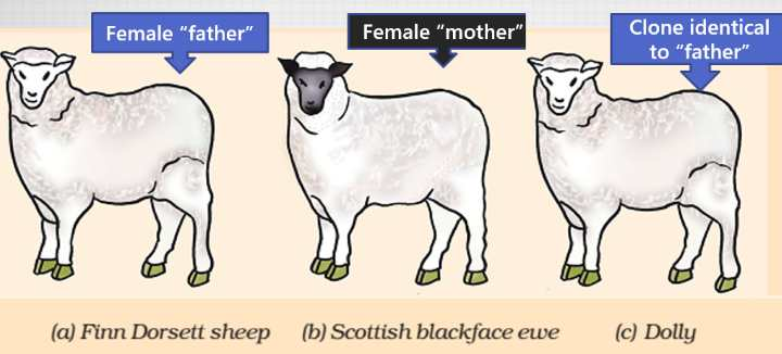 Cloning Dolly Sheep